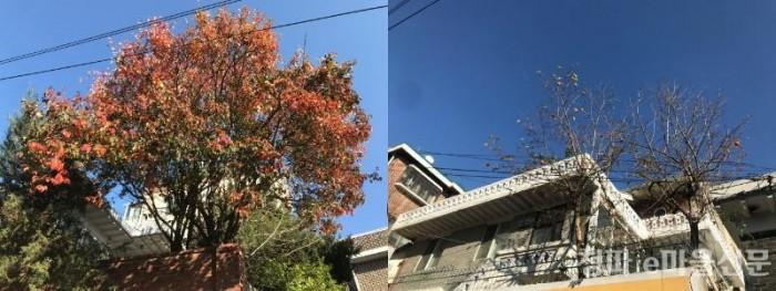 청파동 산책_나무.jpg